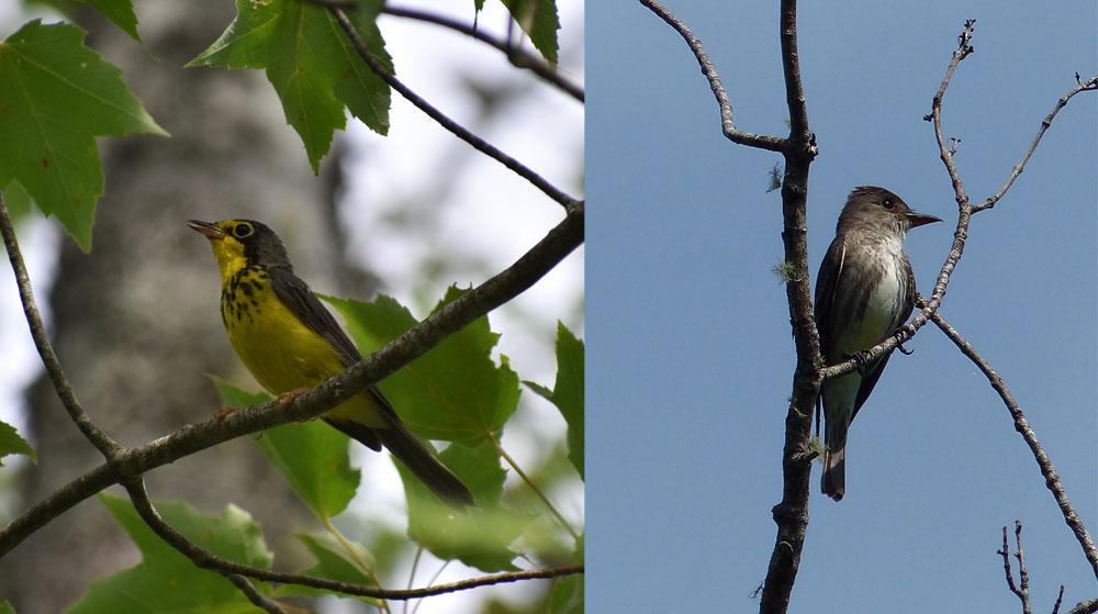 Canada Warbler & Olive-sided Flycatcher